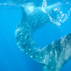 Whale Shark Coming Thru | Isla Mujeres, Mexico
