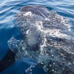 Whale Shark from Above | Isla Mujeres, Mexico