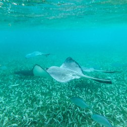 Rays of Shark & Ray Alley Pt.I | Caye Caulker, Belize