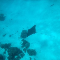Eagle Ray | Caye Caulker, Belize