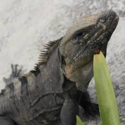 Iguana | Isla Mujeres, Mexico