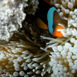 Whitsundays Clownfish