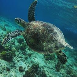 Cadlao Island Turtle