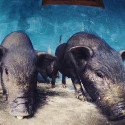 Homestay Pigs | Sapa