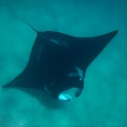 Manta Ray on Ningaloo Reef | Coral Bay, WA