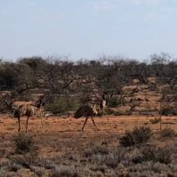 Emu's in the Bush | WA