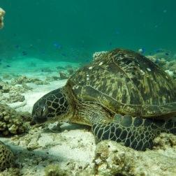 Sleepy Turtle on Ningaloo Reef | Coral Bay, WA