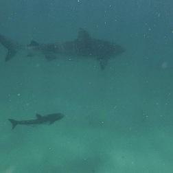 Tiger Shark Hunting | Coral Bay, WA