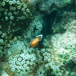Cautious Clownfish | Munda, Solomon Islands
