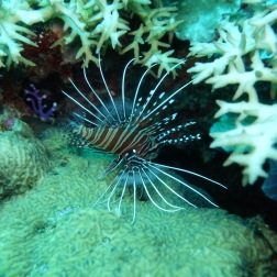 Juvenile Lion Fish | Solomon Islands