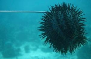 The Invasive Crown of Thorns, Solomon Islands