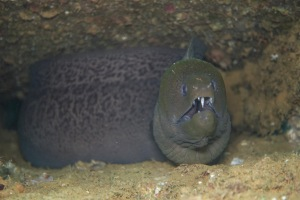 Moray Eel, Solomon Islands