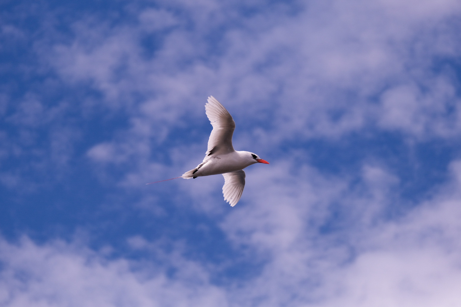 Red Tailed Tropic Bird in Flight