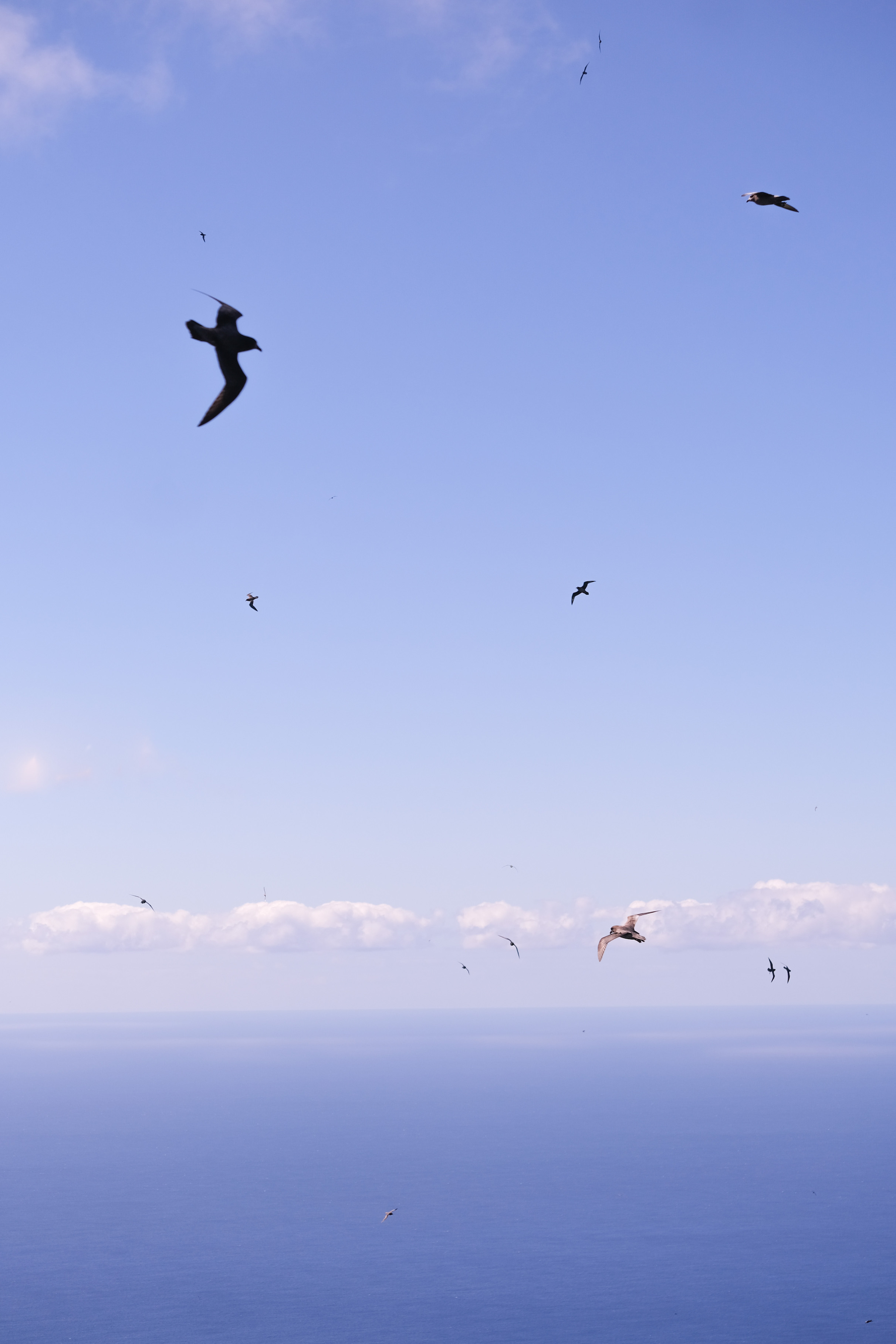 Providence Petrels in the sky
